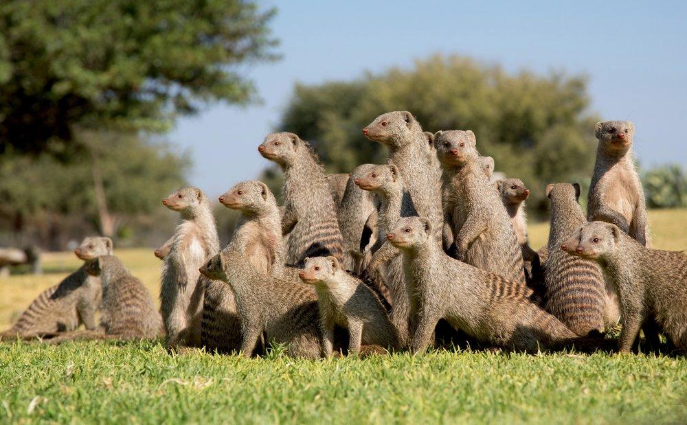 Mongoose in Line.jpg