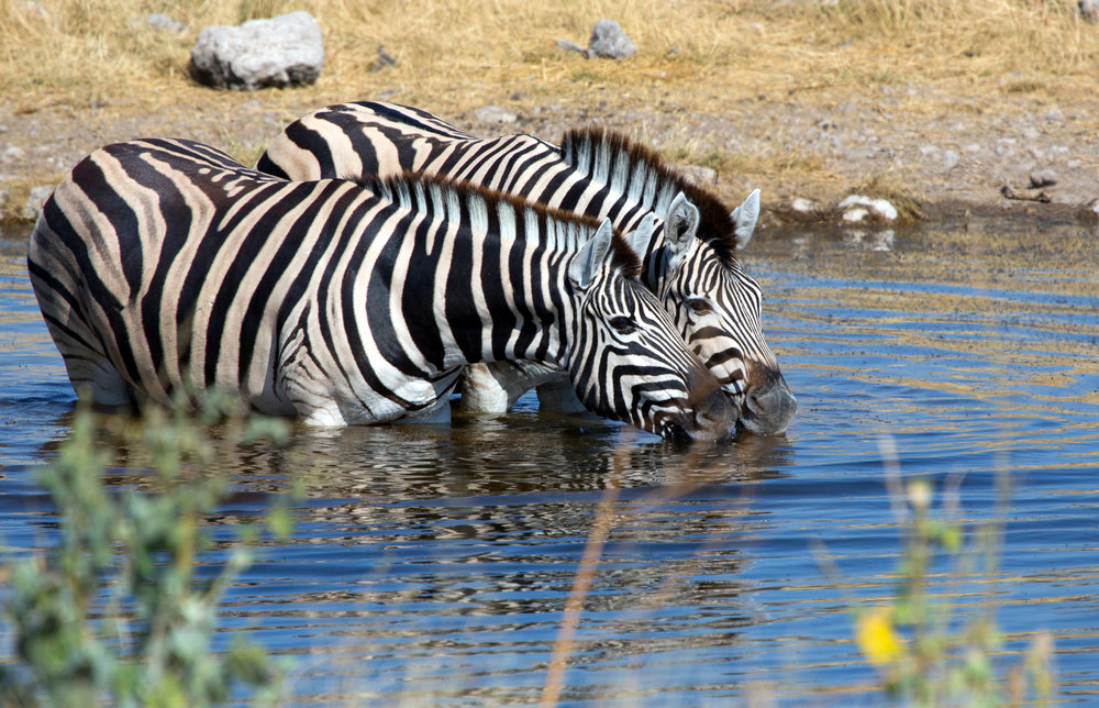 Zebras Drinking.jpg