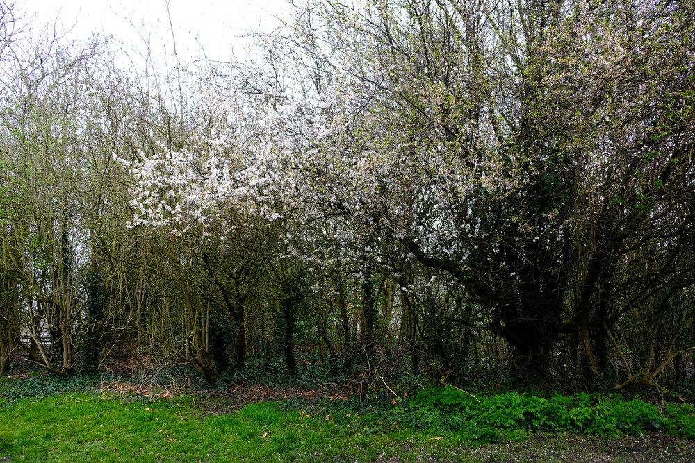 blossomtree.jpg