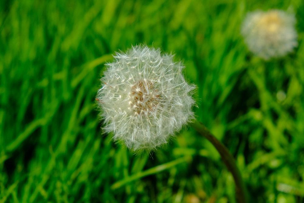 dandelions-1104.jpg