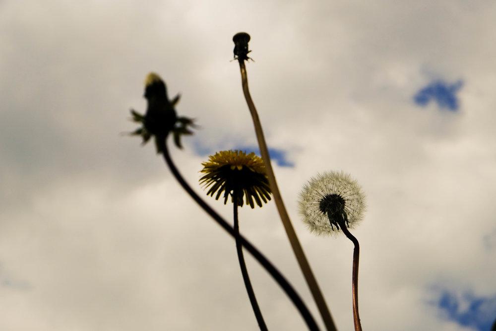 dandelions-1160.jpg