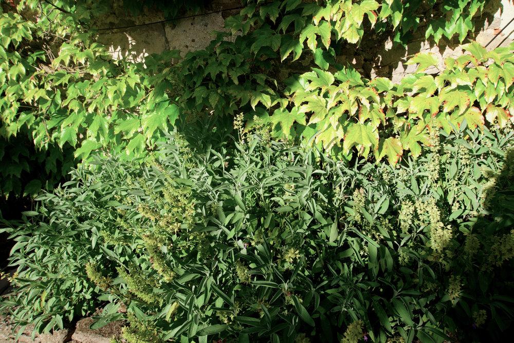 Château de Villarlong,Château de Villarlong,plantes.jpg