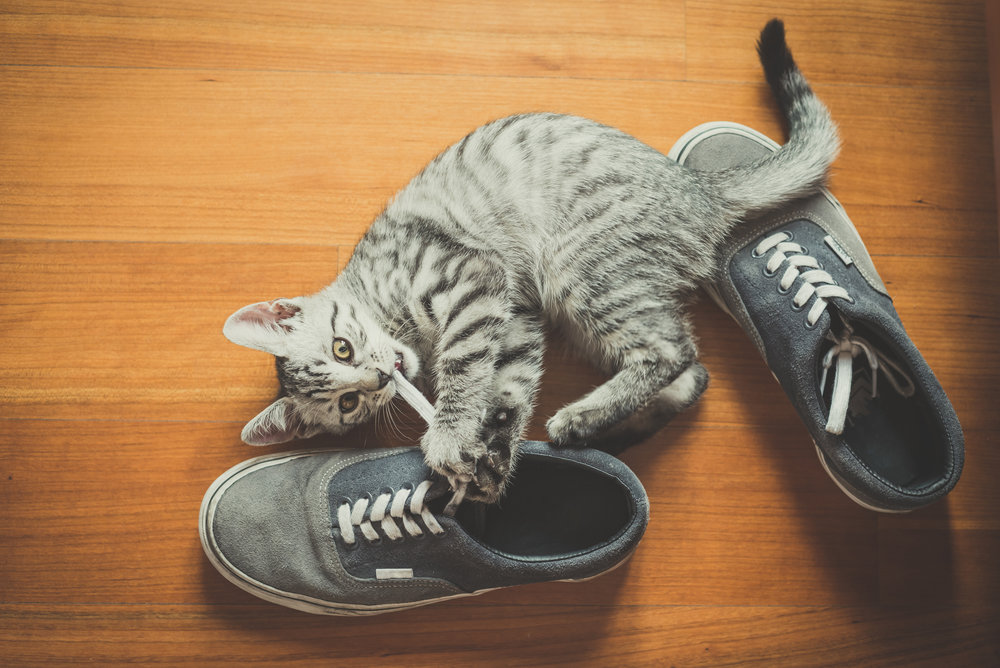 graphicstock-puppy-cat-playing-with-shoes-at-home_rpHtp4syW.jpg