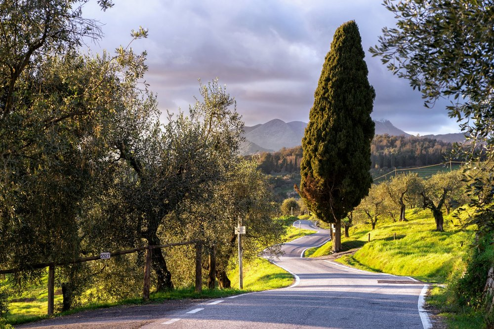 Olive groves of Lucca with the Apuane mountains in the distance. Photograph: Simone Orsucci