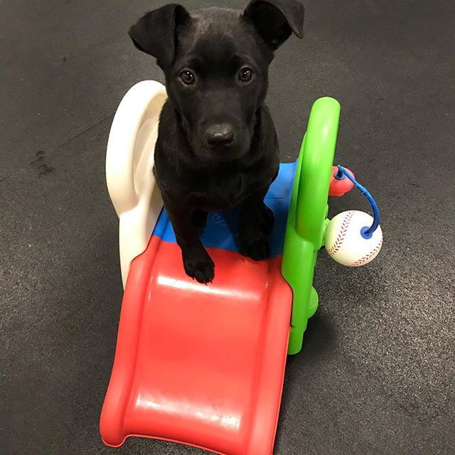 Meet Simon. Today is his first day of puppy school. His mom has done a good job with some basic training. We are going to add in more & refine what he's already learned. #happyhomesdog #dogdaycare #positivetraining #clickertraining