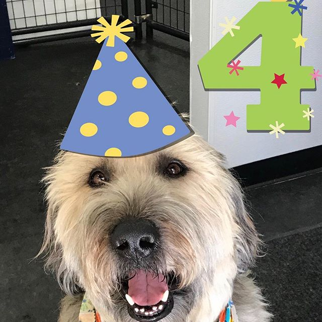 All your friends wish you at happy 4th birthday Hugo. #happyhomesdog #dogdaycare #positivetraining #clickertraining #canineenrichment
