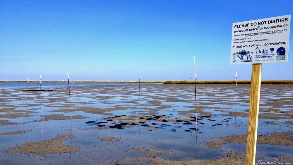 Impacts of nonnative macroalgae on mudflats: an experiment