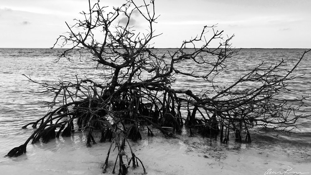 Mangrove Snag. Belize Barrier Reef System