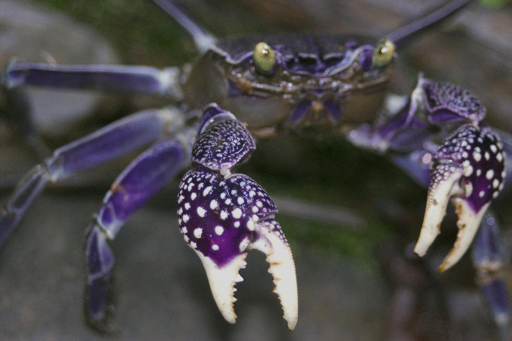 Fijian Crab