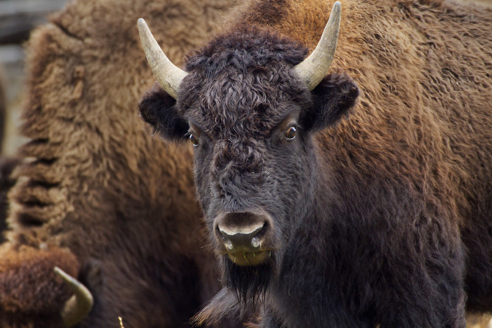 American Bison youth