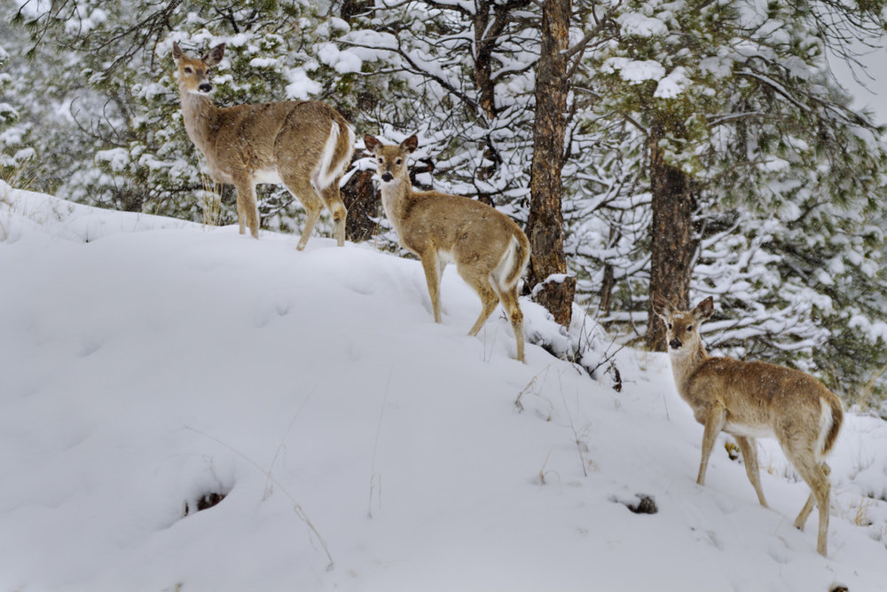 Snowy White Tails
