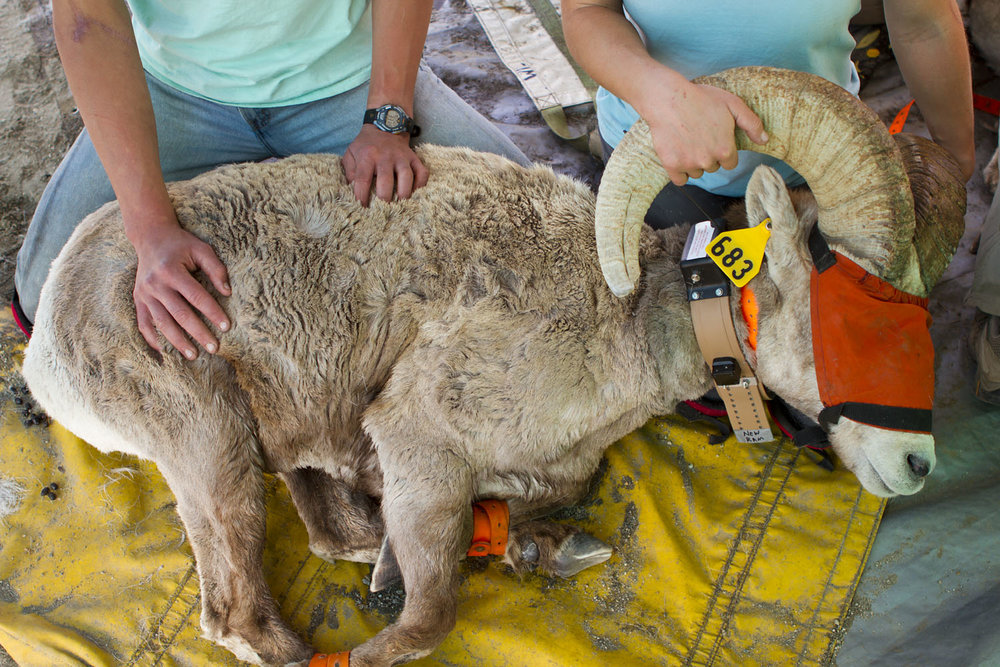 Sierra Nevada Bighorn Sheep Blindfolded