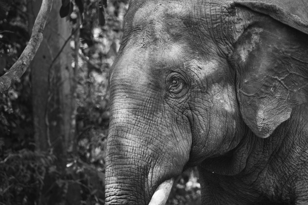 Male elephant (black and white)