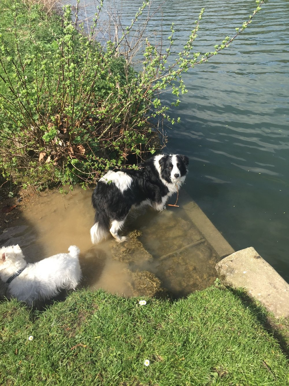 Tiga and Archie enjoying a swim on a hot summer's day in England.
