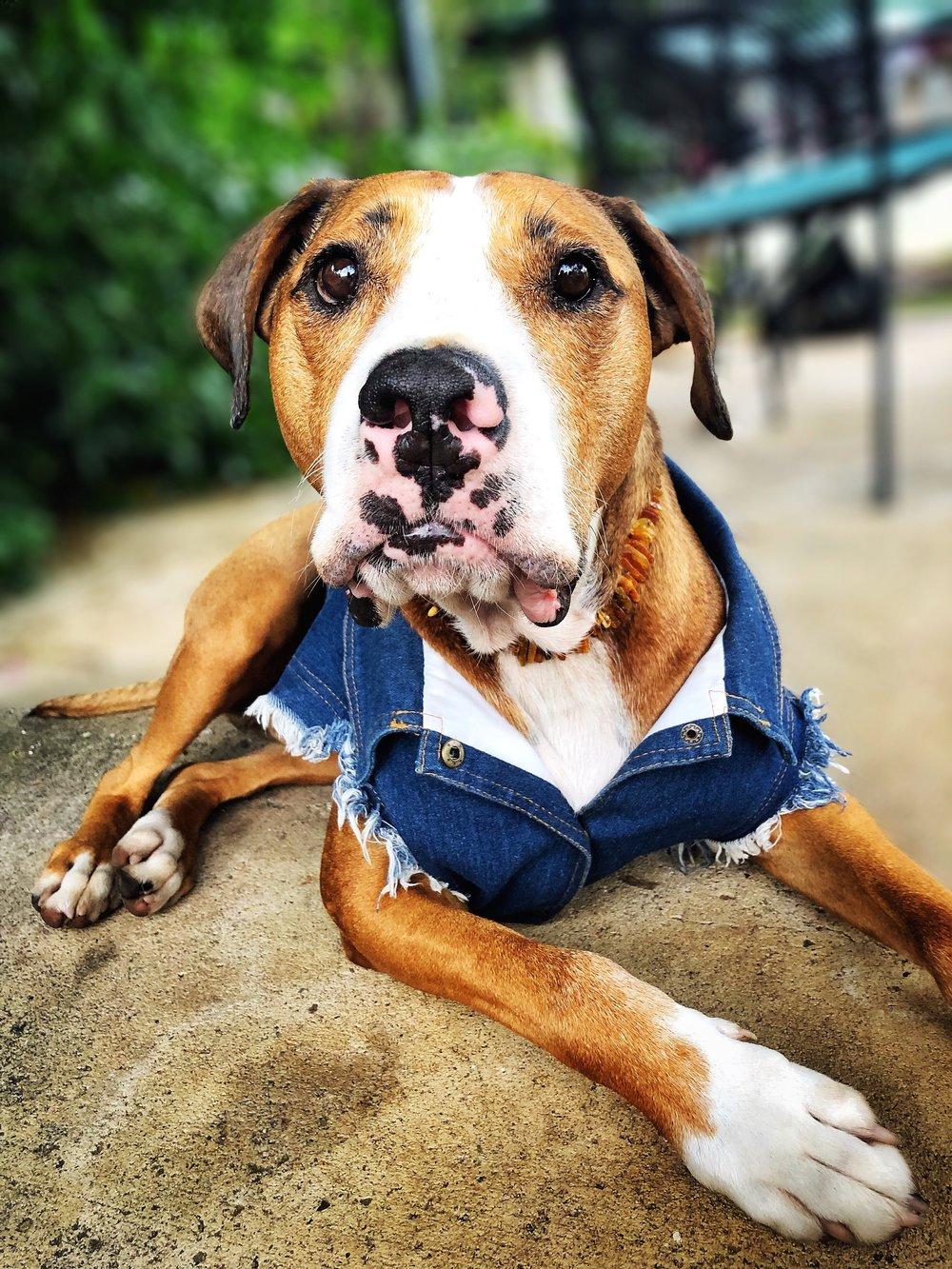 Amos rocking his  Pet Haus Denim Jacket  and his  Baltic Amber collar