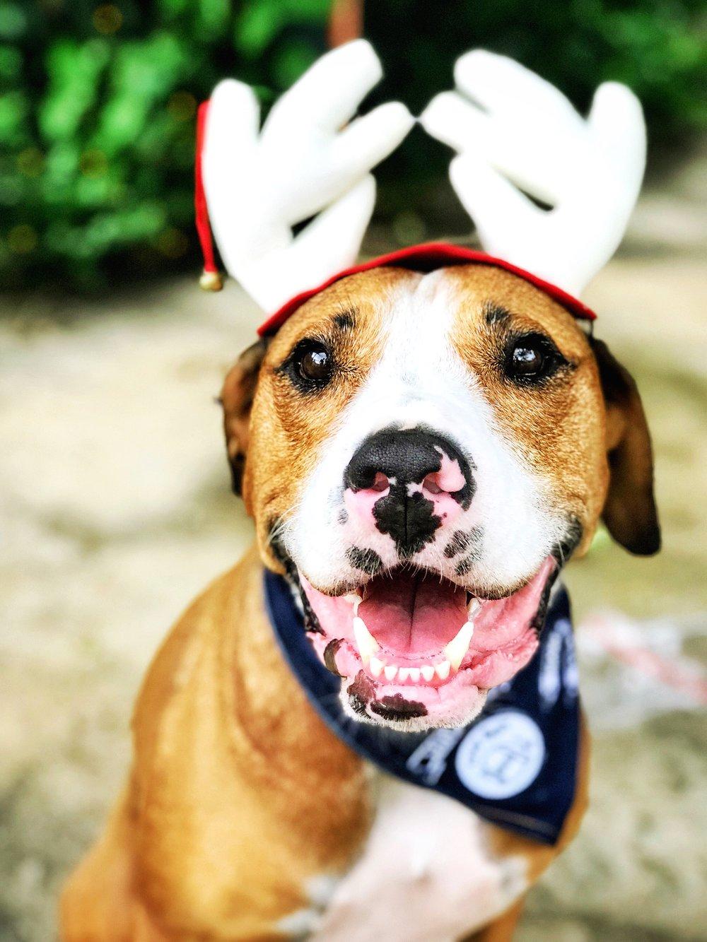 Amos The Reindeer Dog