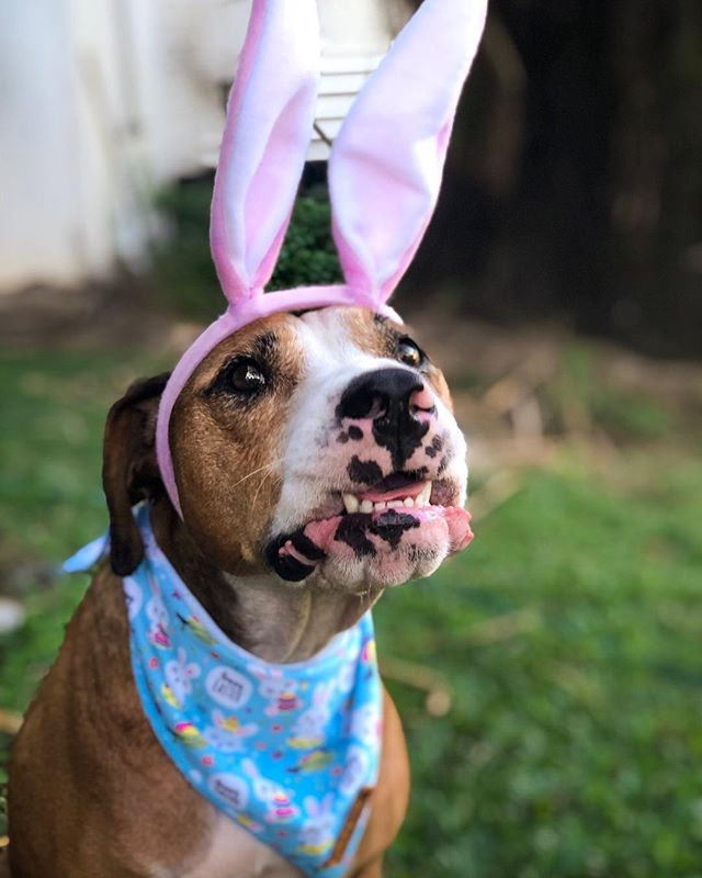 Don't even think about giving me carrots 🥕, do I look like a vegetarian to you❓❗️⠀ #easteriscoming⠀ 🐰 ⠀ Do you like carrots ❓And are you hoping for carrots for Easter❓ 🥕 I'm impartial and it really depends on my mood...⠀ Sometimes I'll eat it, other times I won't.⠀ 🐰⠀ And of course if I do decide to eat them, I also demand that the carrots be chopped into the smallest of pieces for me.⠀ Wanna save my jaws of steel for the real stuff, the bones. You know 🙊⠀ 🐰⠀ So I hope this is a warning to the Easter bunny in that no, I do not want carrots.  And just because I have bunny ears on my head that doesn't mean I am a bunny.⠀ 🐰⠀ NO CARROTS OK ⠀ So please tell me if you like carrots because I'll send them all your way ❗️⠀ 🐰⠀ I hope you are all getting excited for the Easter break and getting to spend time with your family.  I sure can't wait.  I know for a fact I will get to see my grandma and grandad and even my great grandma❗️⠀ She loves me... who wouldn't ⠀ 🐰⠀ So Happy Thursday cool kids⠀ Remember take a stand and say no to carrots❗️🤣🙊⠀ 🐰⠀ Smooches⠀ Bunny Amos rocking my @pawfectpalsau Easter bandana⠀ ❤️❤️❤️⠀ 🥕🥕🥕⠀ 🐰🐰🐰⠀ .⠀ .⠀ .⠀ .⠀ ⠀ ⠀ ⠀ ⠀ ⠀ ⠀ ⠀ #dogsofigtv #rescuedogsofinstagram #rescuedog #rescuedogs #adoptdontshop #muttsofinstagram #rescuedismyfavoritebreed #mutt #rescuedogsrock #rescuepup #rescuefactor #dogsofinstaworld #bestwoof #dog_features #myrspcapet #weratedogs #dailybarker #catahoulaleoparddog #puppysmiles #mydogiscutest #dogoftheday #4funnotlikes #animalsinfluence ⠀ ⠀ ⠀ ⠀