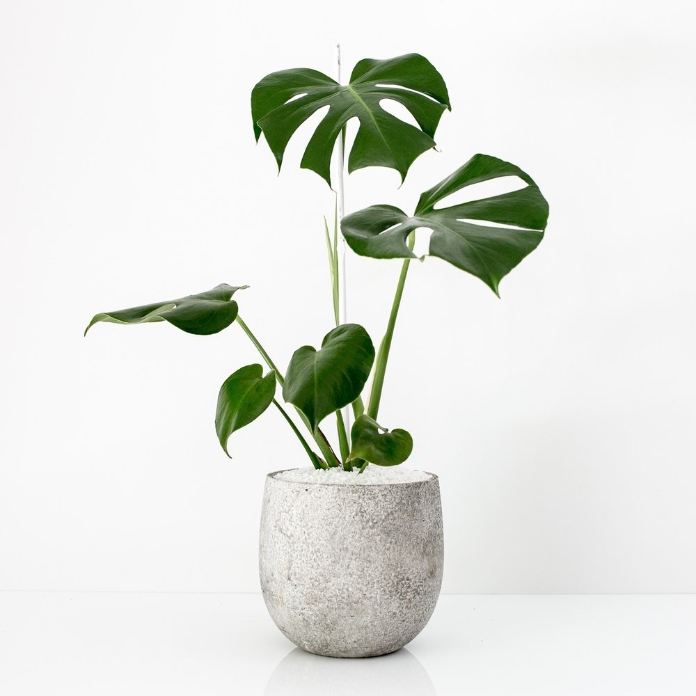indoor indirect sunlight plants indoor plants perth monstera deliciosa plant care house store