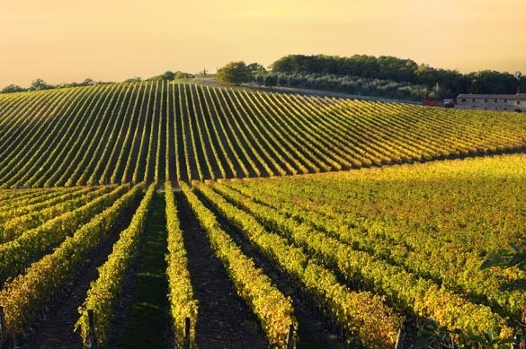 Vineyards in Castagnole Monferrato