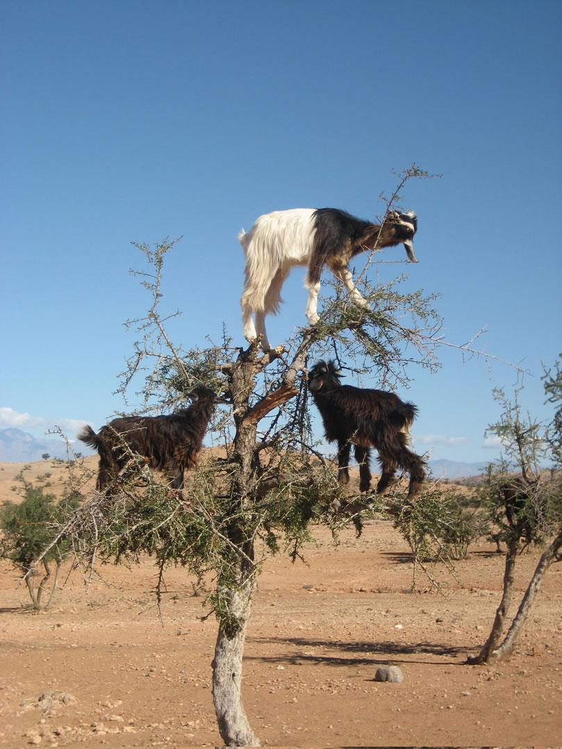 goats in trees.jpg