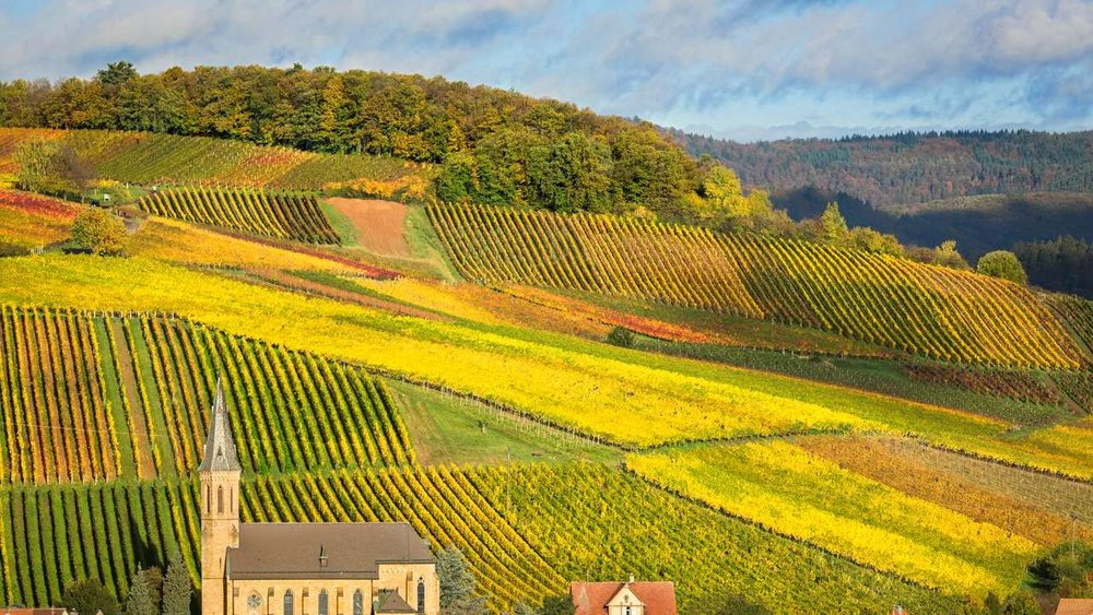 Vineyards in Pfalz.