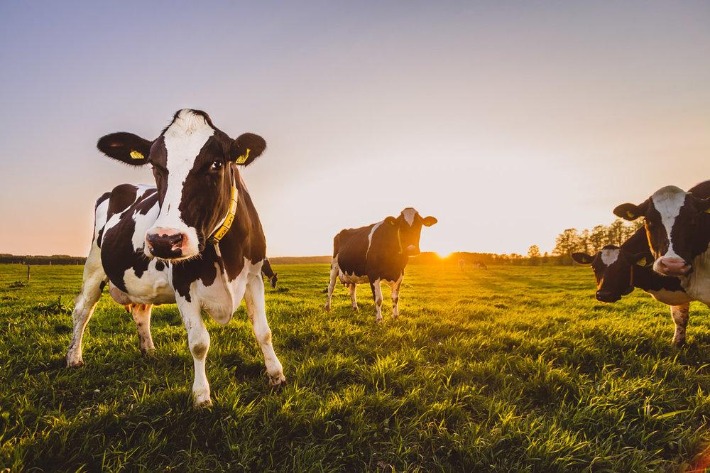 wrangeback cows ip close