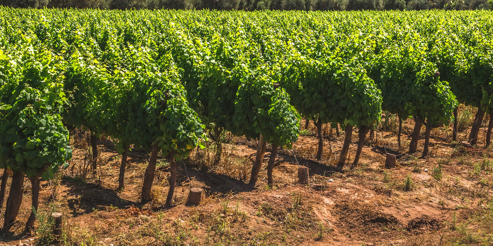 The vineyards for Mi Terruño in Mendoza, Argentina.