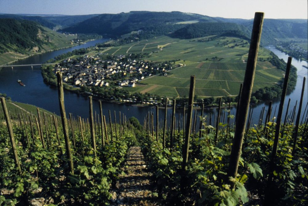 A look down the steep vineyards of the Mosel, Germany.