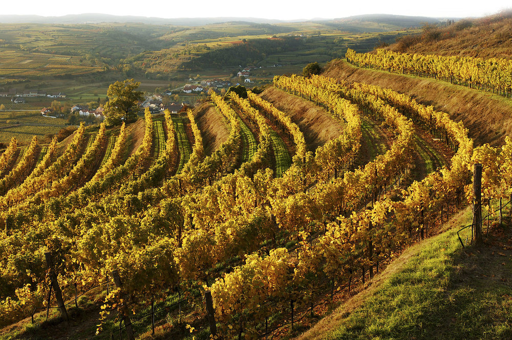 Vineyards along the Heiligentstein in the Kamptal region of Austria.