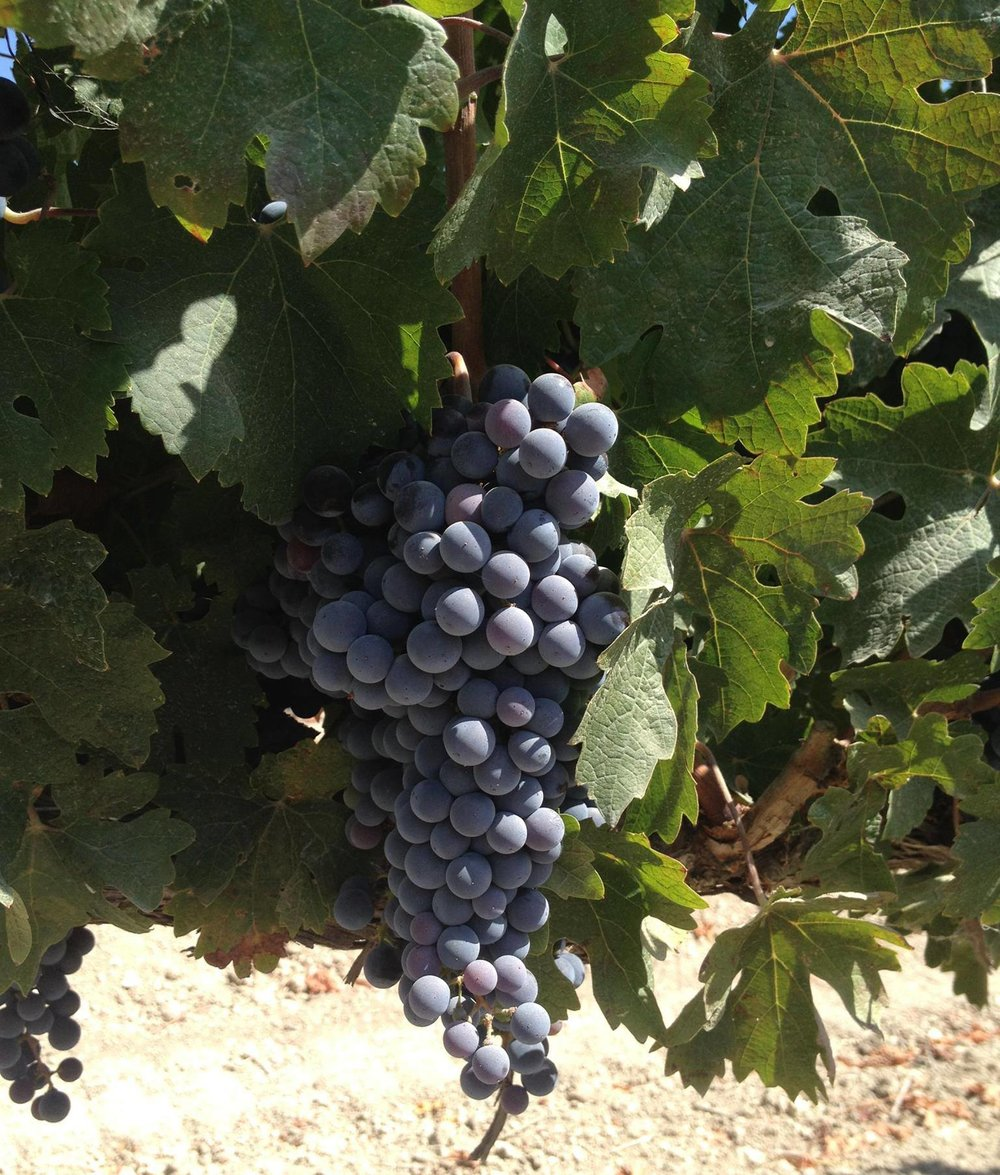 Grapes at the vineyards at Terrasol.  Image courtesy of Mucci Wine.