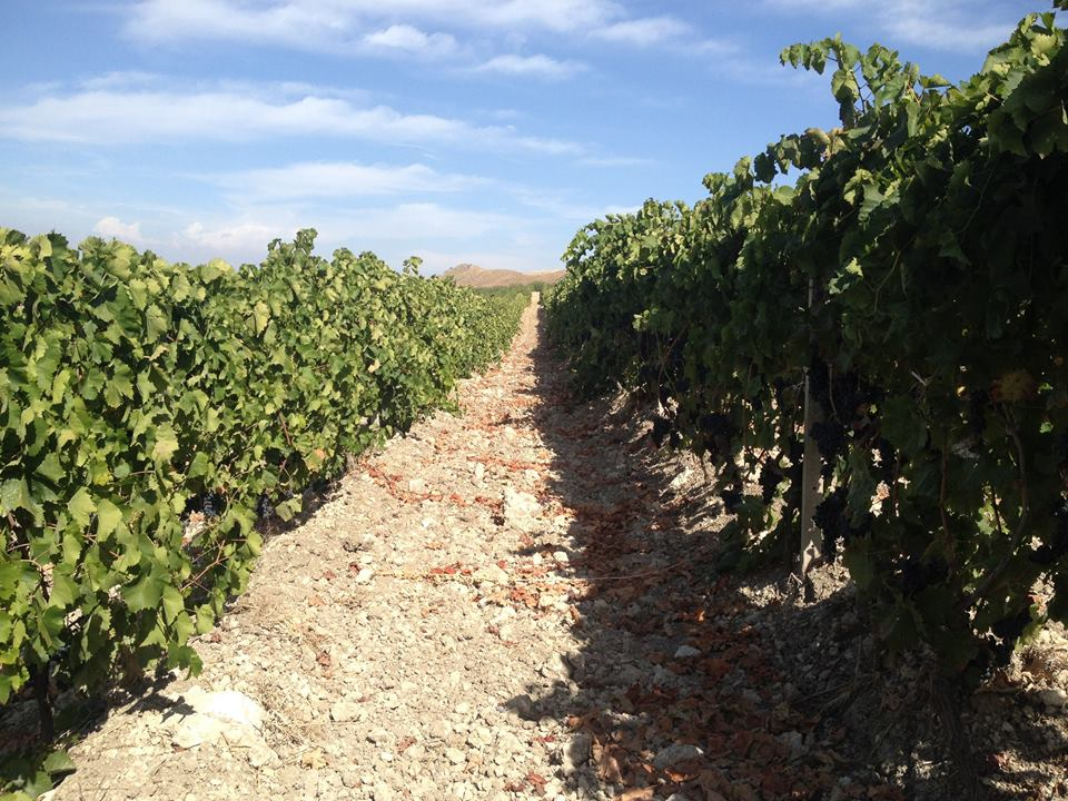 The vineyards at Terrasol.  Image Courtesy of Mucci Wine.