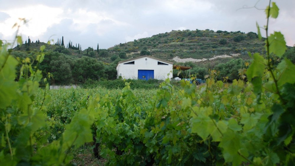 The vineyards at Sclavos.