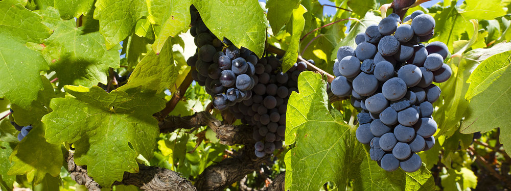 Grapes on the vines at Zlatan Otok's vineyards.  Image courtesy of Zlatan Otok