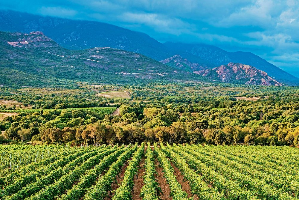 Vineyards on the island of Corsica