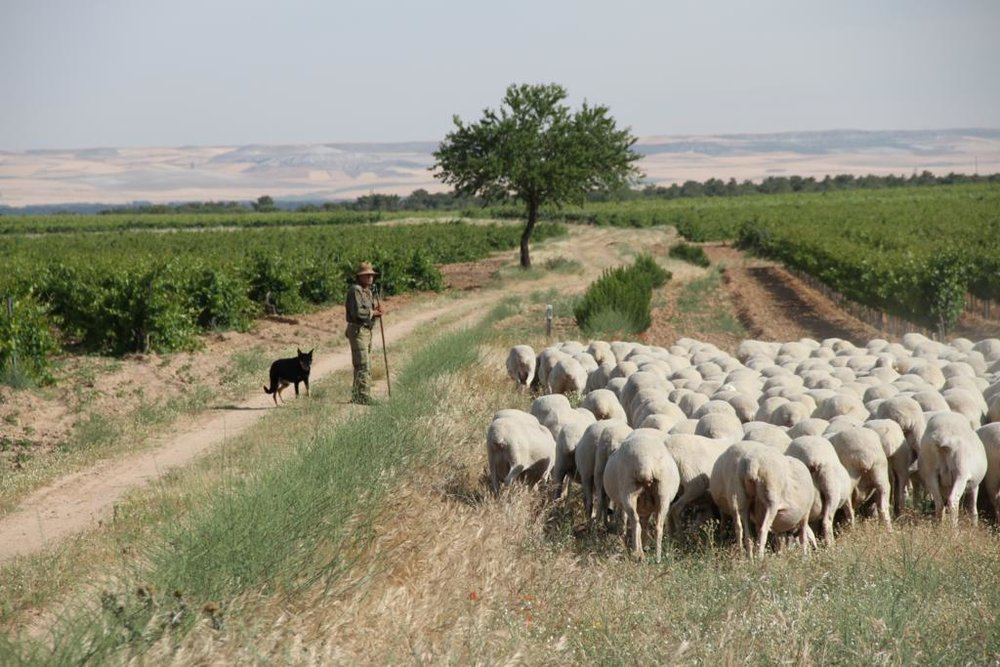 One of the shepherds that provide milk for Cantagrullas, and the Castellana sheep