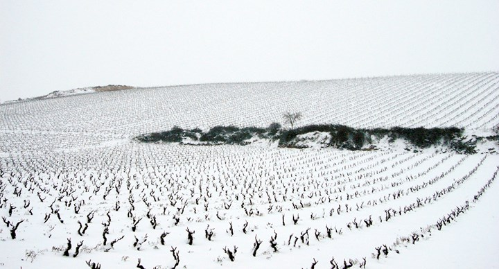 A bush trained vineyard of Pecina in winter