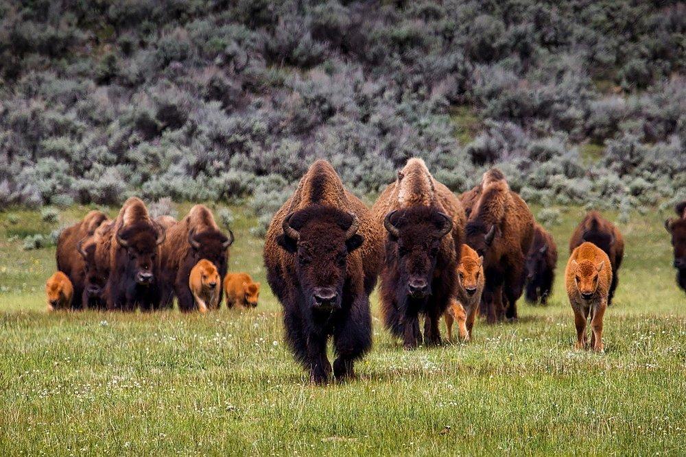 bison-1581895_1920.jpg