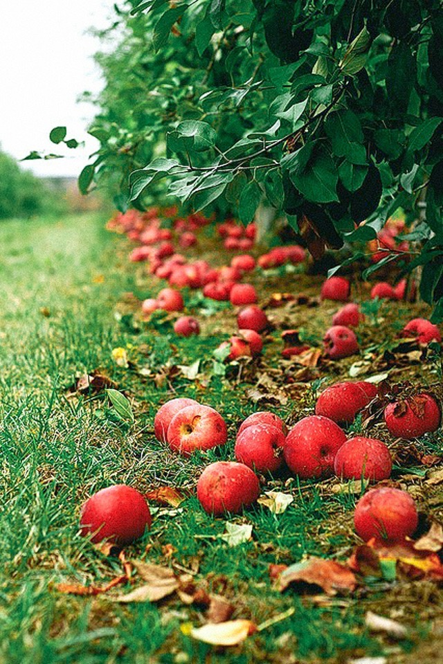 apples falling -from March farms tree-kate uhry