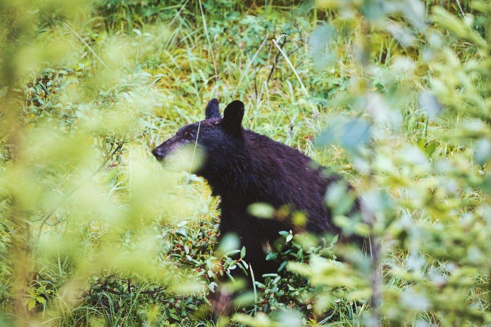 Black Bear - Maligne Lake - Jasper National Park