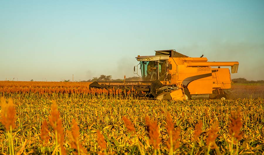 Microbes in Soil Help Sorghum Stay Strong Against Droughts