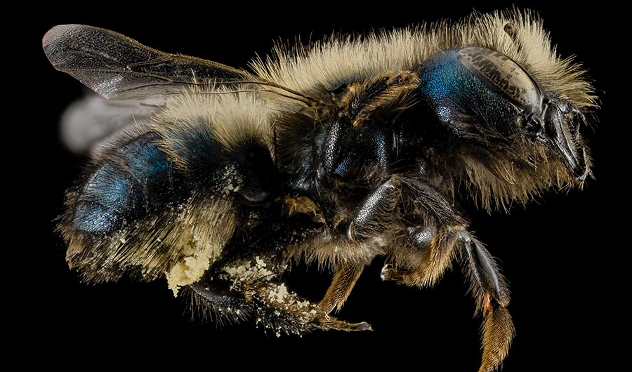 Blue Orchard Bee (Osmia)  Image credits: USGS Bee Inventory and Monitoring Lab via  Flickr  (Homepage Image Credit:  Suzi Rosenberg  via Flickr) Rights information: Public Domain