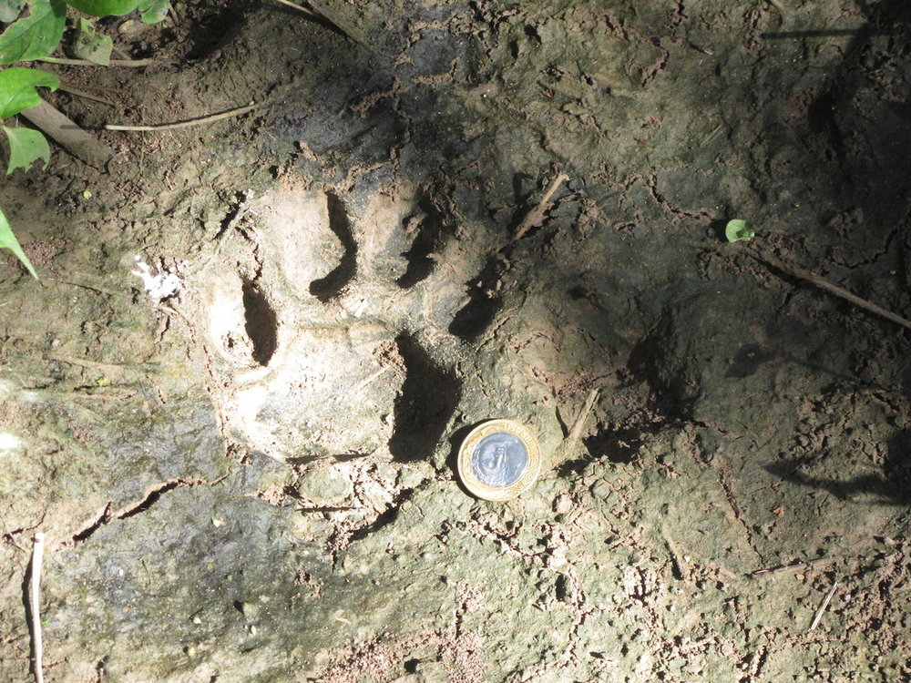 A puma print in a forest reserve. Photo by Colin Phifer