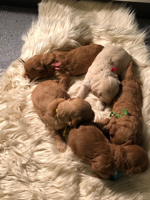 NEW LITTER! - Click here to meet the new addition to the Gate City Labradoodle family!