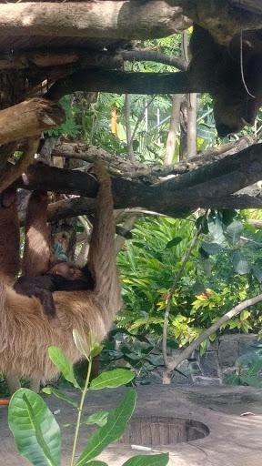 sloth costa rica.jpg