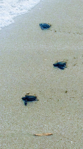 turtles costa rica.jpg
