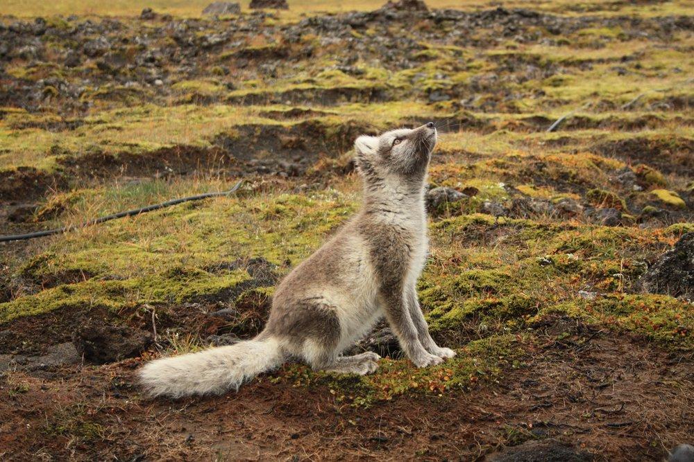 Artic_fox_Iceland.jpg