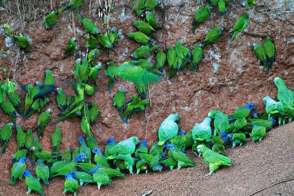 WS Ecuador parrots.jpg