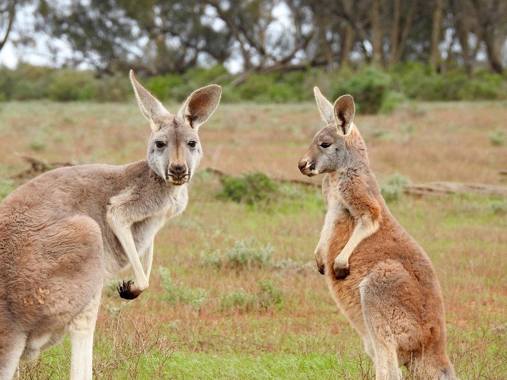 Australia kangaroos-1563624.jpg