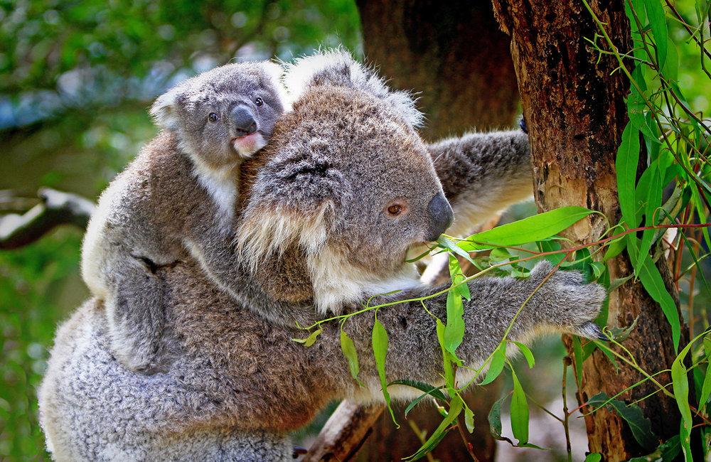 Australia koala-61189.jpg