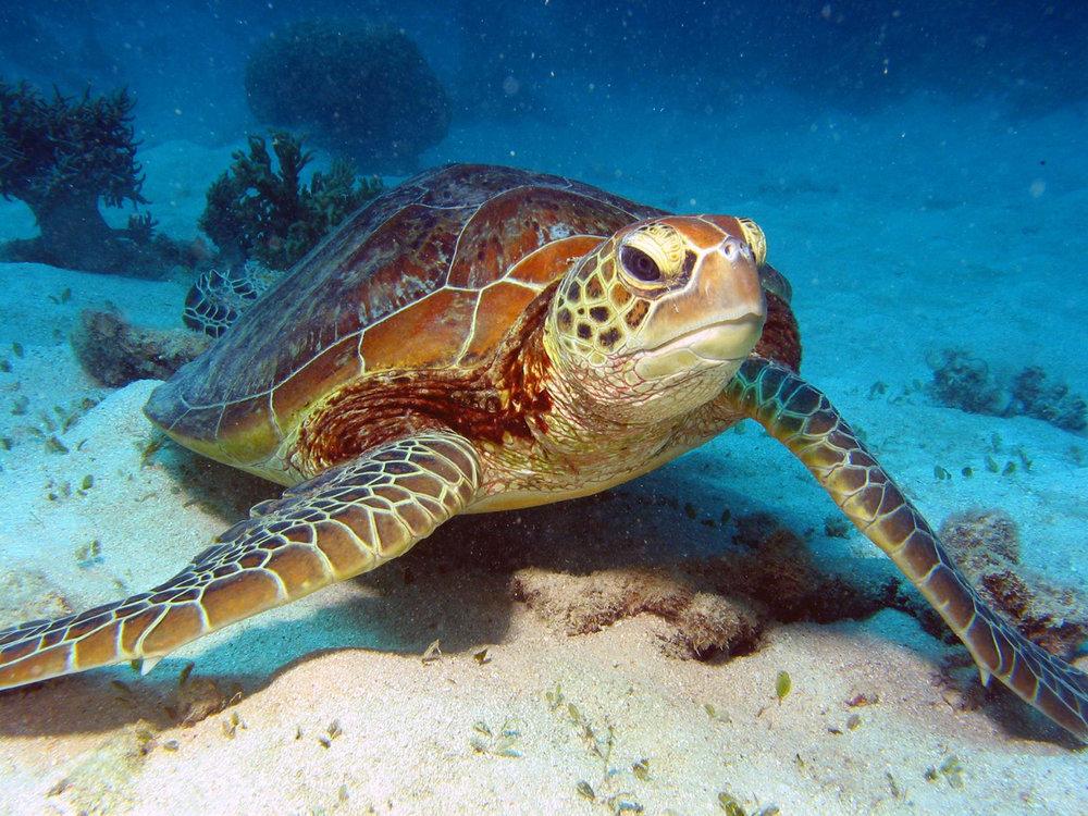Australia Sea turtle.jpg